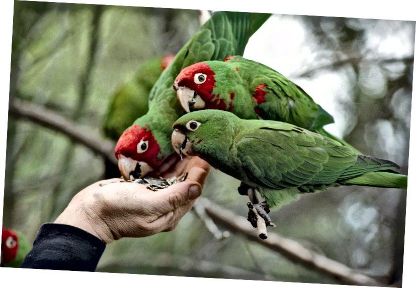 Die Papageien von Telegraph Hill finden leicht Freunde und sind bei Einheimischen und Touristen sehr beliebt. (Bildnachweis: Screengrab aus The Parrots of Telegraph Hill, ein Dokumentarfilm aus dem Jahr 2003).