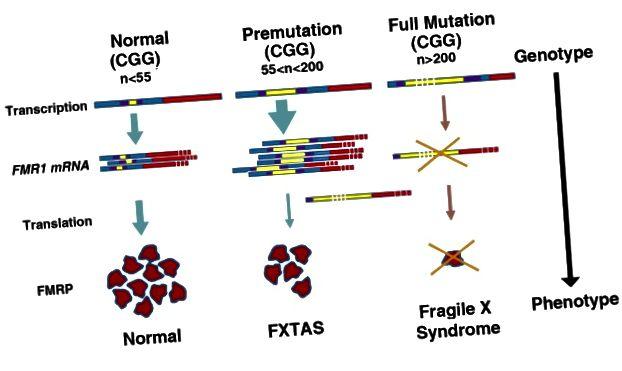 "Transkripcija FMR1 se utišava zbog hipermetilacije DNA, a odsutnost FMRP-a rezultira krhkim X sindromom. (Preuzeto iz ""Miševi modeli krhkog X premutacije i krhkog sindroma tremor / ataksije povezane s X"" u časopisu Neurodevelopmental Disorders (6) 1:25)"