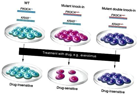 Ljudske stanice epitela divljeg tipa podvrgavaju se genskom ciljanju da bi se stvorili izogeni derivati koji sadrže jednu onkogenu mutaciju PIK3CA (knock-in) ili istu PIK3CA mutaciju zajedno s onkogenom mutacijom KRAS (double knock-in). Stanice se zatim paralelno podvrgavaju lijekovima za procjenu osjetljivosti na otpornost (J Clin Invest. 2010; 120 (8): 2655-2658. Doi: 10.1172 / JCI44026.)