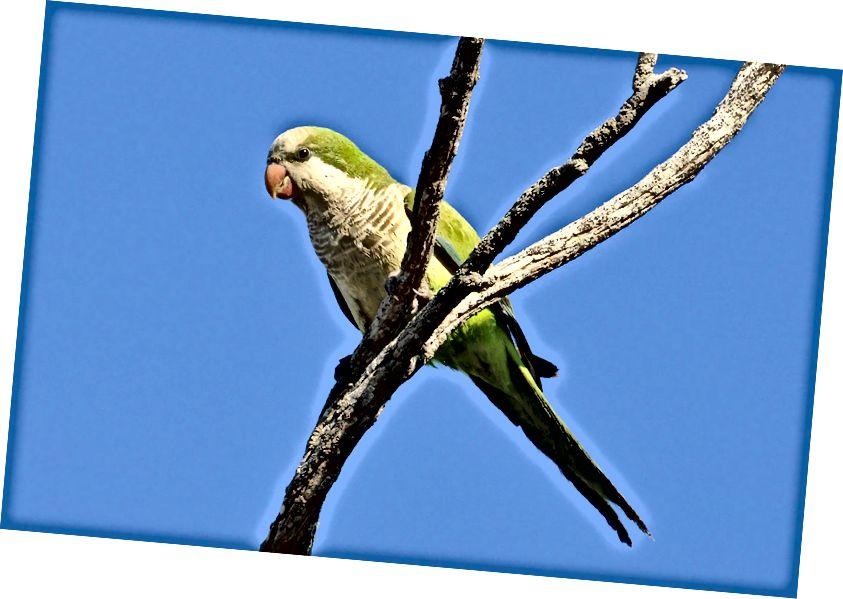 ბერი პარაკეტი (Myiopsitta monachus), რომელიც ასევე ცნობილია როგორც quaker parrot. ეს არის ყველაზე გავრცელებული დადგენილი თუთიყუშის სახეობები შეერთებულ შტატებში. (საკრედიტო: Cláudio Dias Timm / CC BY-SA 2.0)