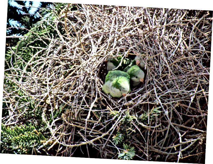 Попугаи-монахи (Myiopsitta monachus), также известные как попугаи-квакеры, выглядывают из своего гнезда типа презервативов. Это самый распространенный вид попугаев в Соединенных Штатах, и их гнездо - уникальное среди попугаев - может быть секретом их успеха. (Фото: Дэвид Берковиц / CC BY 2.0)