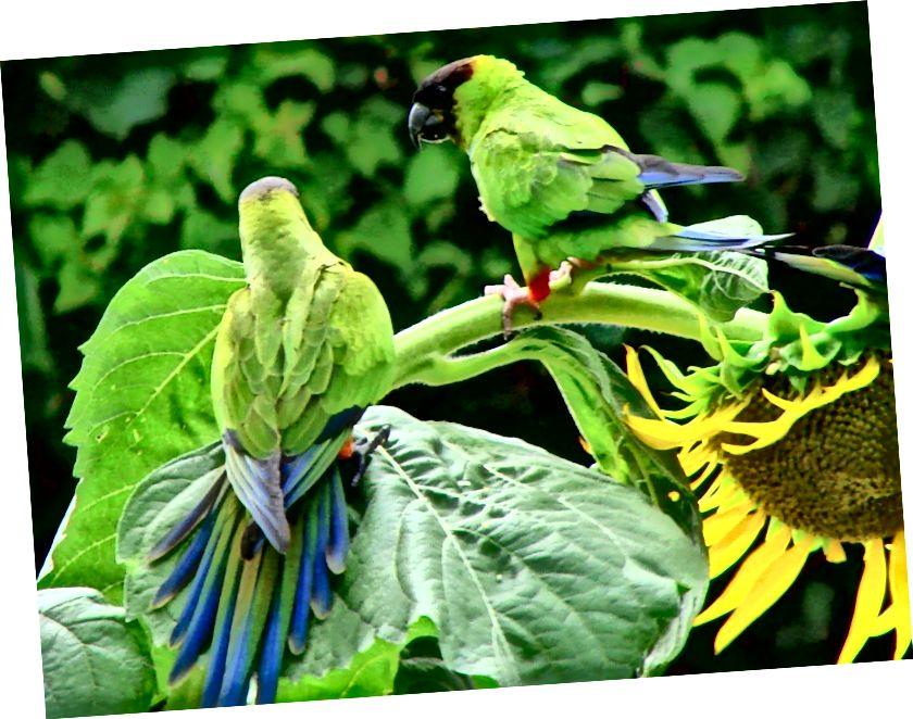 Пара известных няньчатых попугаев (Andinga (Nandayus) в воскресенье), также известных как nanday conures, или попугаи в черных капюшонах, нападают на подсолнух в округе Сарасота, штат Флорида. (Предоставлено: Apix / CC BY-SA 3.0)