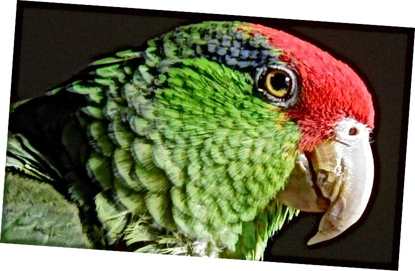 გადაშენების პირას მყოფი წითელი გვირგვინიანი თუთიყუშის პორტრეტი (Amazona viridigenalis), ასევე ცნობილია, როგორც მწვანე ფერის ლოყა ამაზონი, ან მექსიკური წითელი წვერის მქონე თუთიყუში. არსებობს უფრო ნატურალიზებული წითელი გვირგვინი თუთიყუშები, რომლებიც თავისუფლად ცხოვრობენ შეერთებულ შტატებში, ვიდრე მექსიკაში, სადაც ისინი წარმოიშვნენ. (საკრედიტო: Leonhard F / CC BY-SA 3.0.)