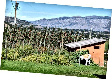 Louisa Carter pracuje podczas zbioru jabłek. Stephanie Lee / BuzzFeed News