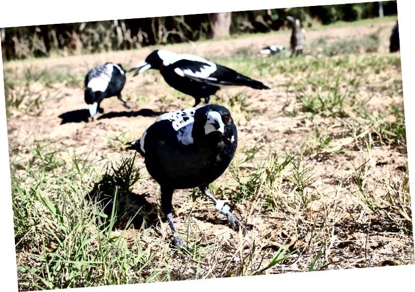 Австралиялық батыс кәмпиттері (Gymnorhina tibicen dorsalis; алдыңғы), отбасылық тобымен бірге (фоны), жеуге жарайтын шыбын-шіркейлерді іздейді. (Несие: Бенджамин Астон.)