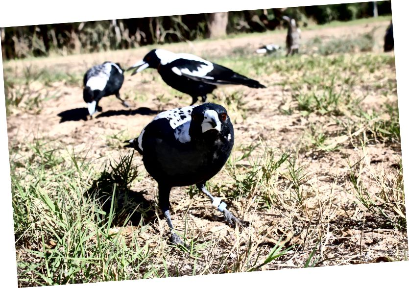 Urraca juvenil del oeste de Australia (Gymnorhina tibicen dorsalis; primer plano), con su grupo familiar (fondo), en busca de criaturas sin espinas o blandas para comer. (Crédito: Benjamin Asthon.)