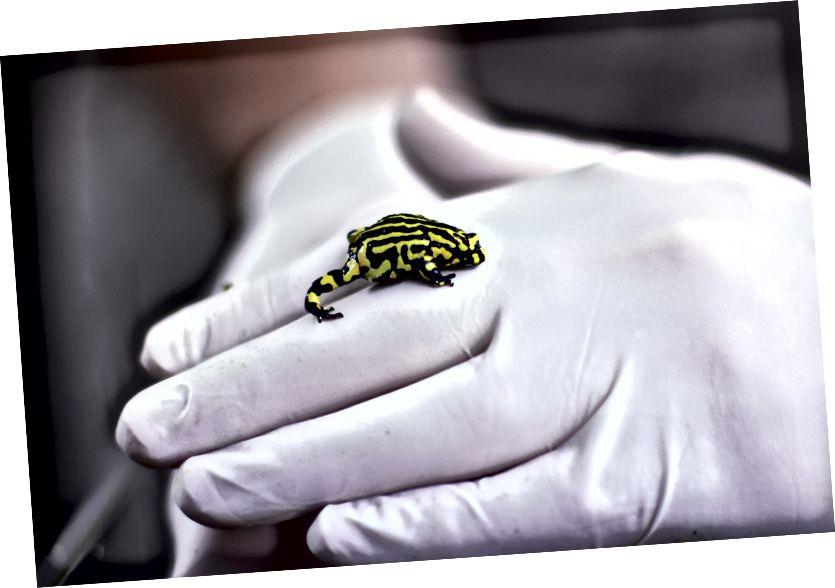 Sau khi gần như bị xóa sổ bởi bệnh tật, chú ếch Corroboree nhỏ bé của Úc đang được giúp đỡ trở lại từ bờ vực tuyệt chủng của các sở thú như Sở thú Taronga ở Sydney