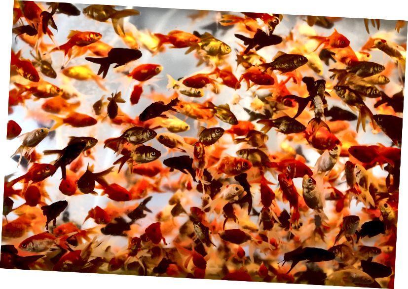 Залатая рыбка плавае ў місцы ў Тэгеране 16 сакавіка 2017 года, наперадзе персідскага новага года Норуз - ATTA KENARE / AFP / Getty Images