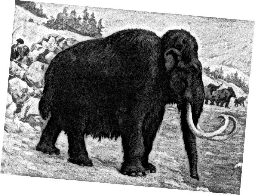 Такі тварини, як маховий шерсть, який панував на більшій частині епохи палеоліту, вимерли приблизно в кінці останнього льодовикового періоду приблизно 10–12 000 років тому. Близько 75% мегафауни Північної Америки в цей час вимерли. (ШАРЛ Р. КНЕТ / 1915)