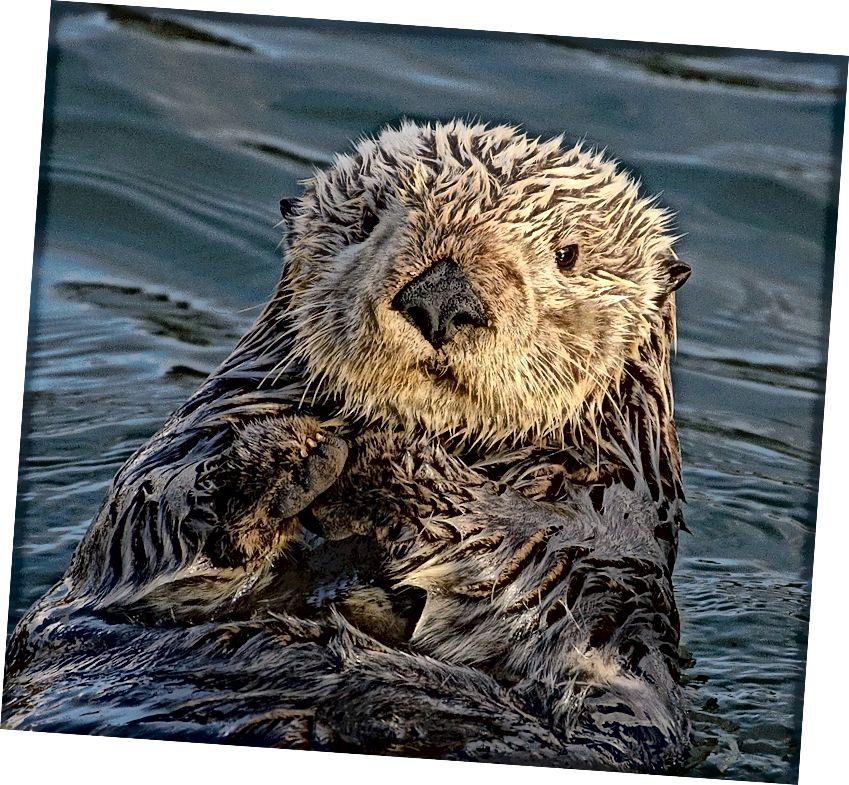 Морските таралежи са основен хранителен режим на морските видри. Морските таралежи ядат водорасли и друга растителна материя. Елиминирането на морските видри е довело до експлозии от популации на таралежи, които са опустошили водорасли от водорасли, от които зависят много риби. Изображение: wikimedia