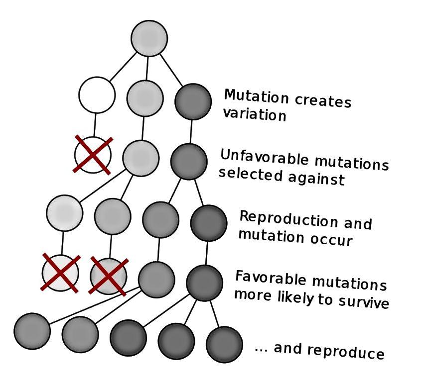 Cơ chế tiến hóa của Darwin phụ thuộc vào đột biến và chọn lọc tự nhiên, và có thể dẫn đến các loài mới theo thời gian được tạo ra từ một tổ tiên chung duy nhất. Tín dụng hình ảnh: Elembis của Wikimedia Commons.
