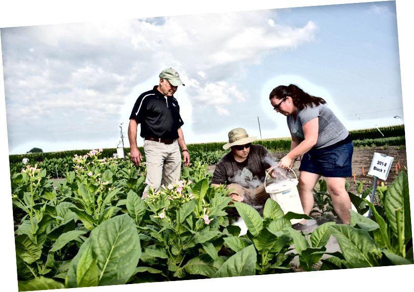 Ilmuwan Don Ort (kanan), Paul South (tengah) dan Amanda Cavanagh (kiri) mempelajari seberapa baik tanaman mereka yang dimodifikasi untuk memotong fotorespirasi dilakukan di samping tanaman yang tidak dimodifikasi dalam kondisi dunia nyata.