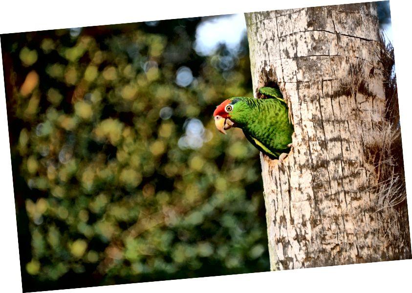 Ciluk ba! Burung beo Amazon yang dimahkotai merah, Amazona viridigenalis, mengintip dari rongga sarangnya di wilayah San Diego. Spesies ini terancam punah dalam kisaran alami di seluruh Meksiko. (Kredit: Bryan Calk, gambar melalui Proyek Bayan San Diego)