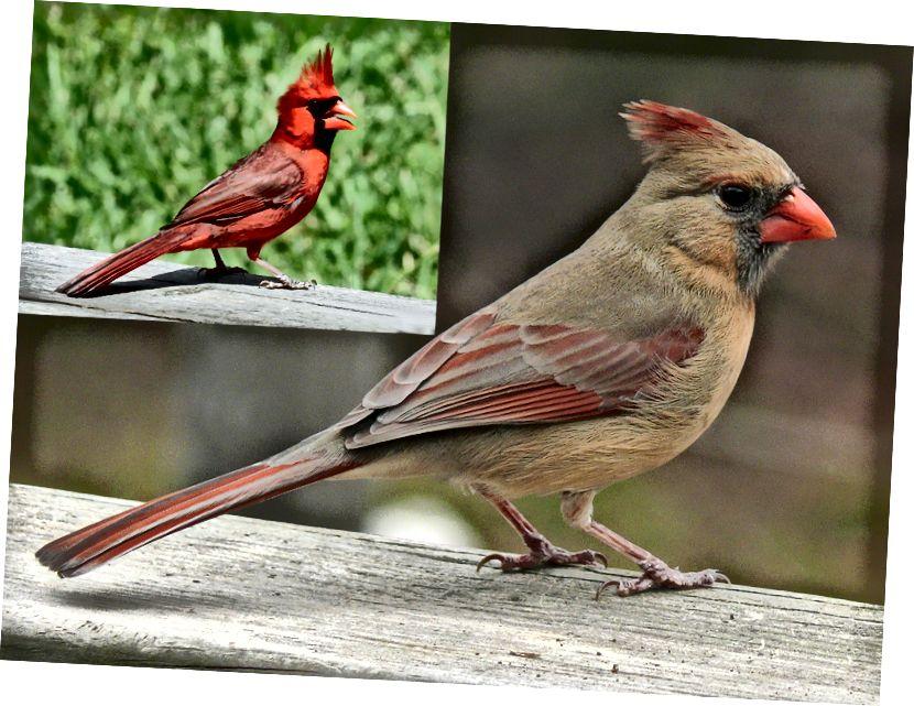 Северни кардинали (Cardinalis cardinalis): жени (кредит: Кен Томас / публично достояние) и мъже (вмъкване, горе вляво; кредит: Дик Даниелс / CC BY-SA 3.0). Това е сексуално диморфен вид, при който мъжете и женските могат да бъдат визуално разграничени въз основа на оперението си. (Композитен кредит: Боб О'Хара.)