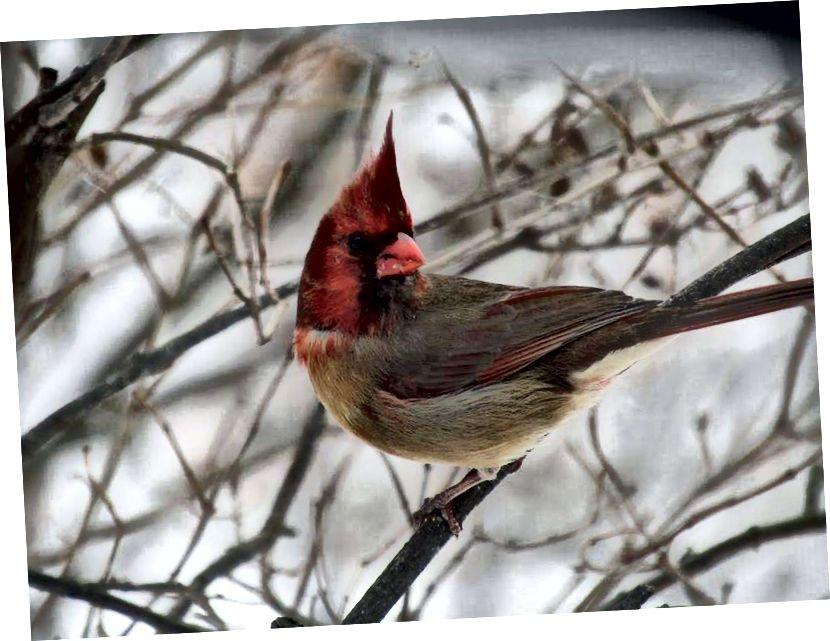 """Този необичаен северен кардинал (Cardinalis cardinalis) е разделен на две равни половини, където едната страна е алена, а другата е с тен, е двустранен гинандроморф, известен още като """"полу-сидер"""". Тази птица беше открита от Ширли и Джефри Колдуел в храната на птиците в задния двор в Пенсилвания в края на януари 2019 г. (Кредит: Ширли Колдуел.)"""