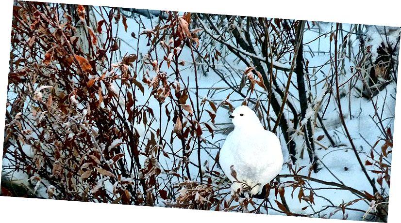Ptarmigan [izrunā tär′mĭ-gən] ir uzbūvēts ziemai. (Foto: Brittany Sweeney / USFWS)