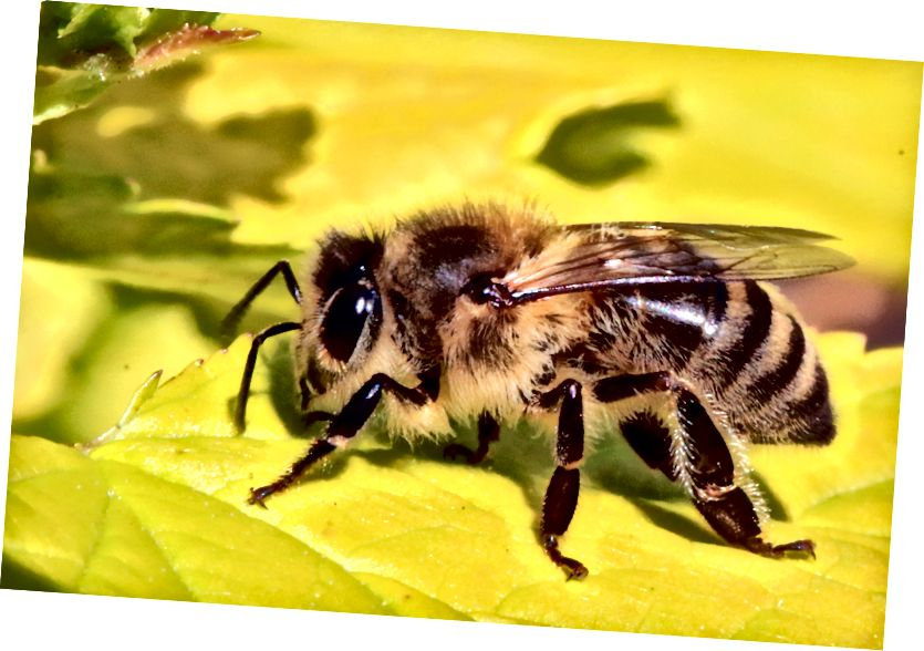Работница пчелы (Apis mellifera). (Фото: Cumnor Hill, Sharp Photography / CC BY-SA 3.0)