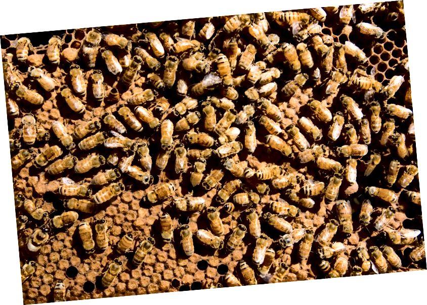 Европейские пчелы (Apis mellifera) в Австралии. (Кредит: CSIRO / CC 3.0)