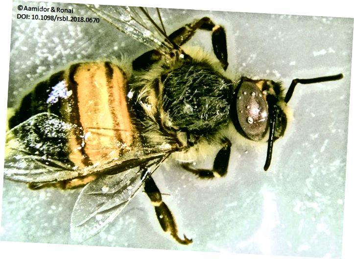 Мужские глаза медоносной пчелы намного больше женских глаз, и этот гинандроморф имеет мужской глаз на женском теле. (Фото: Aamidor & Ronai, 2018, через Twitter.)