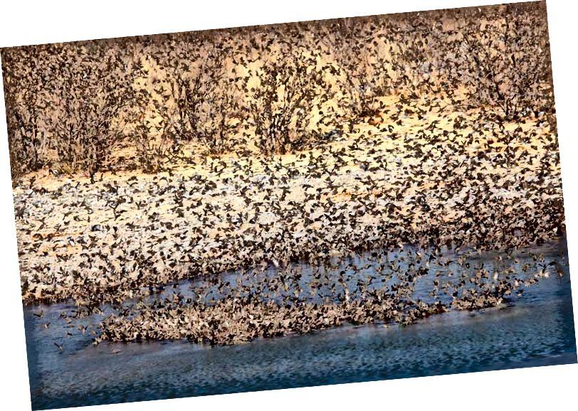 Կարմիր գանձվող Quelea- ի հոտ, թռչունների աշխարհում ամենատարածված տեսակները: Վարկ `Shutterstock / EcoPrint