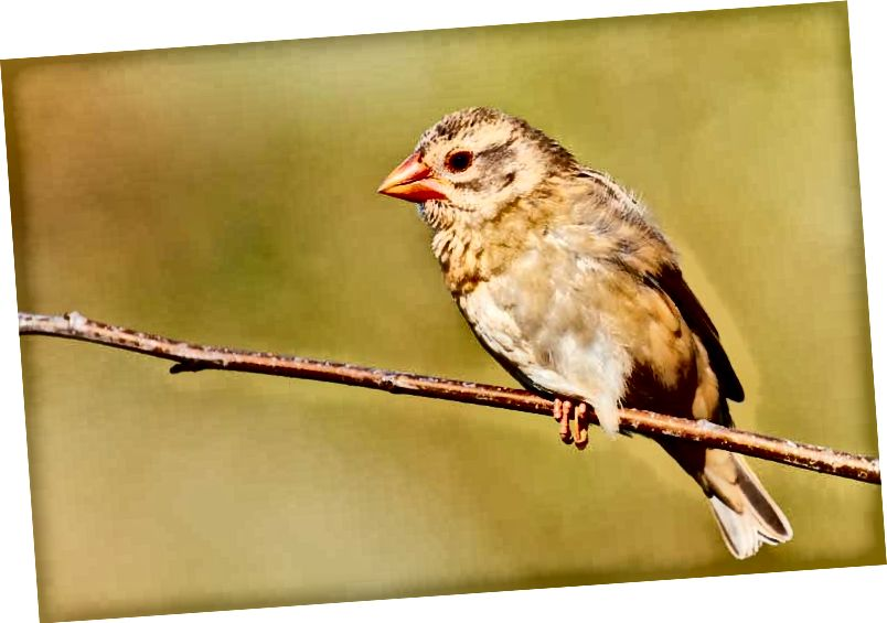 Red-billed Quelea, malapit na. Credit: Shutterstock / Nick Biemans.