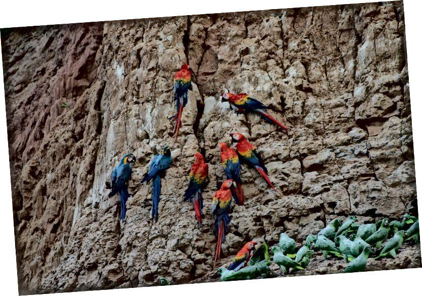 Bayan hingga 18 spesies mengunjungi jilatan tanah liat di dekat Pusat Penelitian Tambopata di Peru tenggara. Foto dari atas ke bawah: scarlet macaw (Ara macao); macaw biru dan kuning (Ara ararauna); dan kakatua bertepung selatan (Amazona farinosa). (Kredit: Proyek Donald Brightsmith / Tambopata Macaw.)