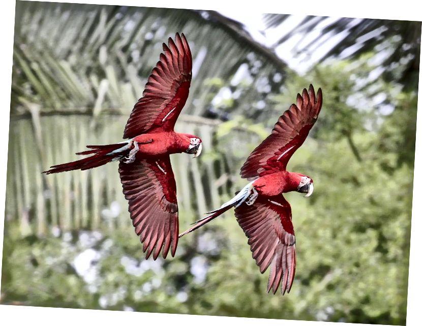 Dua macaw merah-dan-hijau (bersayap hijau) (Ara chloropterus) terbang di dekat tanah liat lainnya di Taman Nasional Manu, Peru. (Kredit: Bill Bouton / Creative Commons Attribution-Share Alike 2.0 Generic license.)
