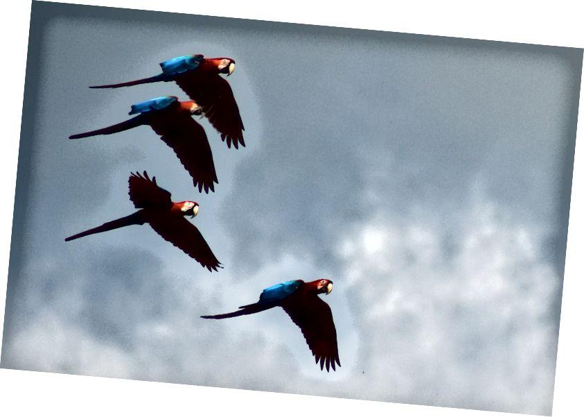 Empat macaw merah-dan-hijau (bersayap hijau) (Ara chloropterus) terbang di Peru. (Kredit: Ricardo Sánchez / Creative Commons Attribution 2.0 Generic license.)