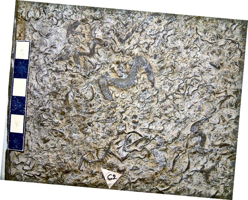 Trilobitlər, Çikaqodakı Tarla Muzeyindən əhəng daşı içərisində qalıqlaşdı. Təkamül nəzəriyyəsindəki