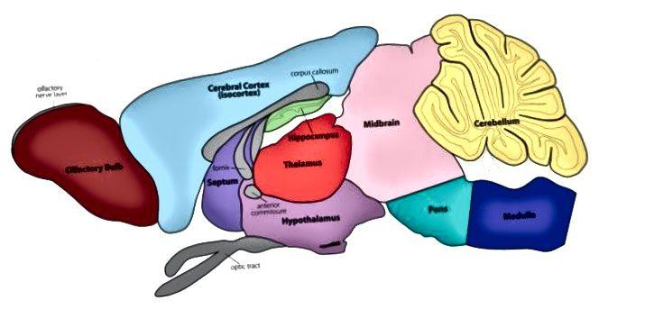 Схема мозгу, знойдзеная ў маладых мышэй. Крыніца: Універсітэт Ракфелер