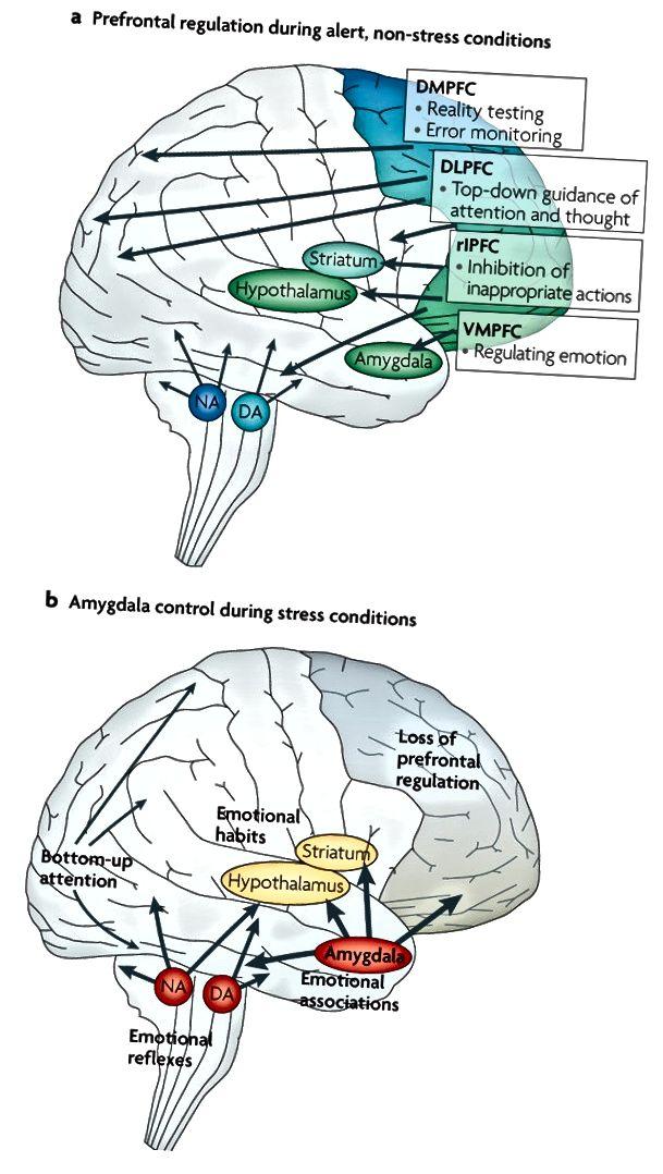 Mynd 4. Barkæðaháþrýstingur fyrir framan á móti amygdala: skiptin frá streitu án streitu. Arnsten AFT (endurnýtt með leyfi).
