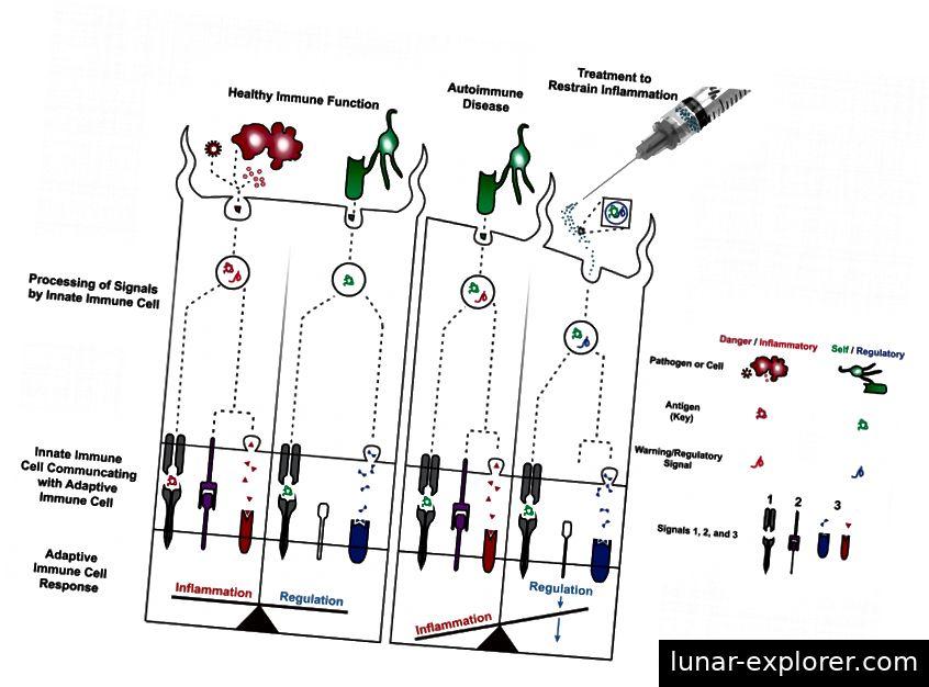 Abbildung 1: Links) Wenn eine angeborene Immunzelle auf einen Erreger trifft, wird ein Antigen (Schlüssel) des Eindringlings mit einem Warnsignal verarbeitet. Dies führt zur Präsentation der Signale 1, 2 und 3 (rot: entzündlich) in der T-Zelle und programmiert eine Entzündungsreaktion. Mitte links) Beim Auftreffen auf eine Selbstzelle wird ein Antigen aus der Zelle ohne Warnsignale verarbeitet. Dies führt dazu, dass Signal 1 und möglicherweise etwas Signal 3 (blau: regulatorisch), jedoch kein Signal 2, an der T-Zelle präsentiert wird und eine regulatorische Reaktion programmiert. Während einer gesunden Immunfunktion gibt es ein Gleichgewicht zwischen Entzündungen gegen Krankheitserreger und Regulierung / Toleranz gegen Selbstzellen. Mitte rechts) Bei einer Autoimmunerkrankung verschiebt sich das Gleichgewicht zugunsten einer Entzündung, und die Selbstzellen werden vom adaptiven Immunsystem irrtümlicherweise zur Zerstörung ins Visier genommen. Dies könnte auf die falsche Aktivierung von Wegen zurückzuführen sein, die zur Präsentation der Signale 1, 2 und 3 als Reaktion auf ein Antigen aus einer Selbstzelle führen. Rechts) Neue Behandlungsstrategien versuchen, auf angeborene Immunzellen zu zielen, um zu ändern, wie sie Informationen an adaptive Immunzellen übermitteln (z. B. Signal 2 reduzieren, Signal 3 von entzündlich auf regulatorisch umstellen), um das Gleichgewicht zwischen Entzündung und Regulation wiederherzustellen. * Diese Abbildung ist eine angepasste Version von Abbildung 1 des ursprünglichen Artikels. *