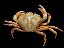Abb. 1: Europäische Grüne Krabbe