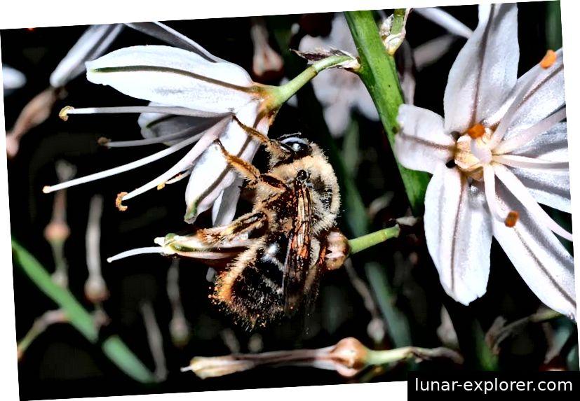 In der Roten Liste Europas werden 77 Bienenarten als gefährdet eingestuft. Die Xylocopa cantabrita ist nicht gefährdet. Bildnachweis - Curro Molina