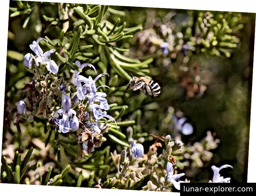 Bienen bestäuben wilde Arten sowie viele unserer pflanzlichen Lebensmittel wie diese Rosmarinblüten. Bildnachweis - Curro Molina