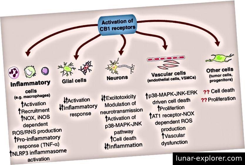 CB1-Rezeptoren: mehr als nur Cannabinoid-Empfänger