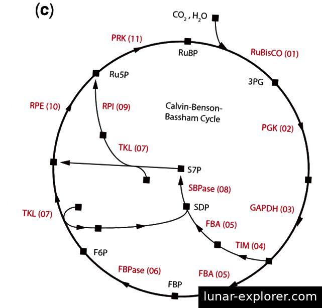 Abbildung 1 (Jaffe et al. 2018): Ein Bild des Calvin-Benson-Bassham-Zyklus (oft nur als Calvin-Zyklus bezeichnet). Nahe dem Ursprung des Zyklus spielt RuBisCo eine Schlüsselrolle bei der Bindung von Kohlenstoff aus CO2 in 3-Phosphoglycerat (3PG). Ohne diesen enzymatischen Prozess ist der Calvin-Zyklus unmöglich.