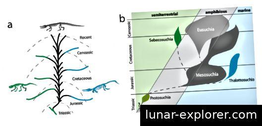 Abb. 1: Diese Abbildung zeigt die traditionelle Hypothese des Übergangs von Crocodylomorph-Habitaten. (a) Zeigt den