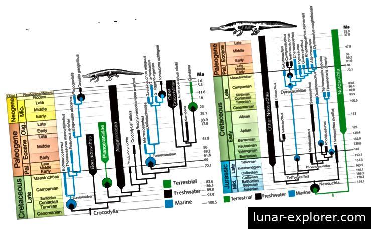 Abb. 3: Diese Abbildung zeigt zwei verschiedene Phylogenien. Die erste der Phylogenien zeigt die Crocodylia-Gruppe und ihre Evolutionsgeschichte, und die zweite Phylogenie zeigt die Evolutionsgeschichte der Tethysuchia-Linie. Jeder Knoten hat die Wahrscheinlichkeit von <0,9 rekonstruiert. Die farbigen Pfeile in den Kreisen repräsentieren Transtions und in welche Umgebung sie sich versetzten.