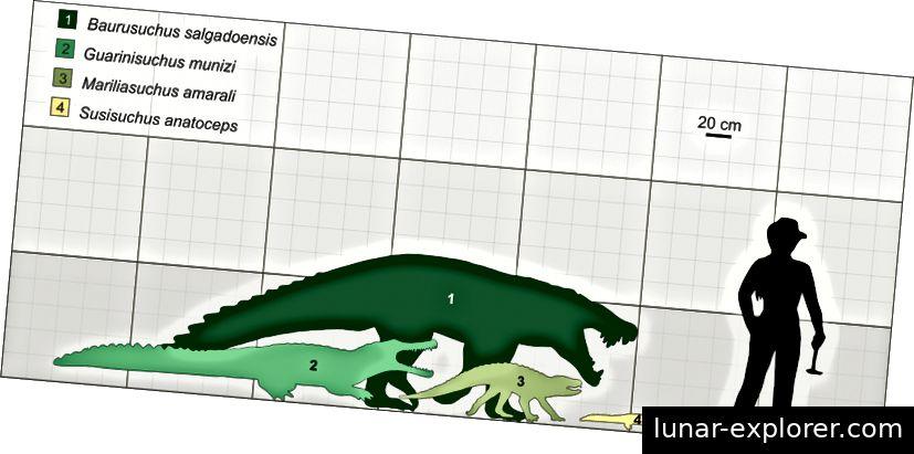 Abb. 4 zeigt die unterschiedlichen Körpergrößen von ausgestorbenen Crocodylomorphs, die in terrestrischen Umgebungen, in marinen Umgebungen und in Süßwasserumgebungen vorhanden waren