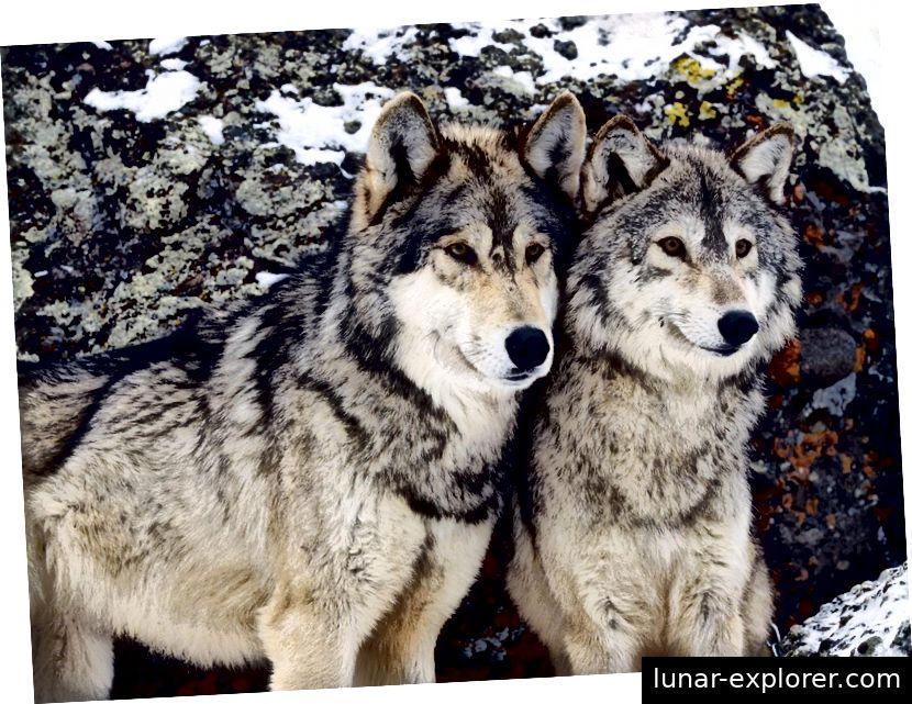 Abbildung 1: Grauer Wolf abgerufen von: wikipedia.org