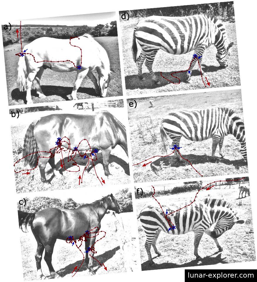 Abbildung 4: Beispielhafte Flugbahnen von Tabaniden um Hauspferde und Zebras in Gefangenschaft. Rote Linien entsprechen der Flugbahn und die roten Pfeile zeigen die Flugrichtung an. Blaue Sterne zeigen, wo Kontakt hergestellt wurde oder Landeplätze. Blaue Pfeile zeigen an, wo Manöver ausgeführt wurden, die zu Geschwindigkeits- oder Richtungsänderungen führten (Caro et al., 2019).