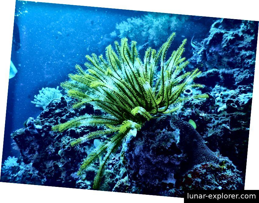 Ein modernes Krinoid, auch Seelilie genannt.