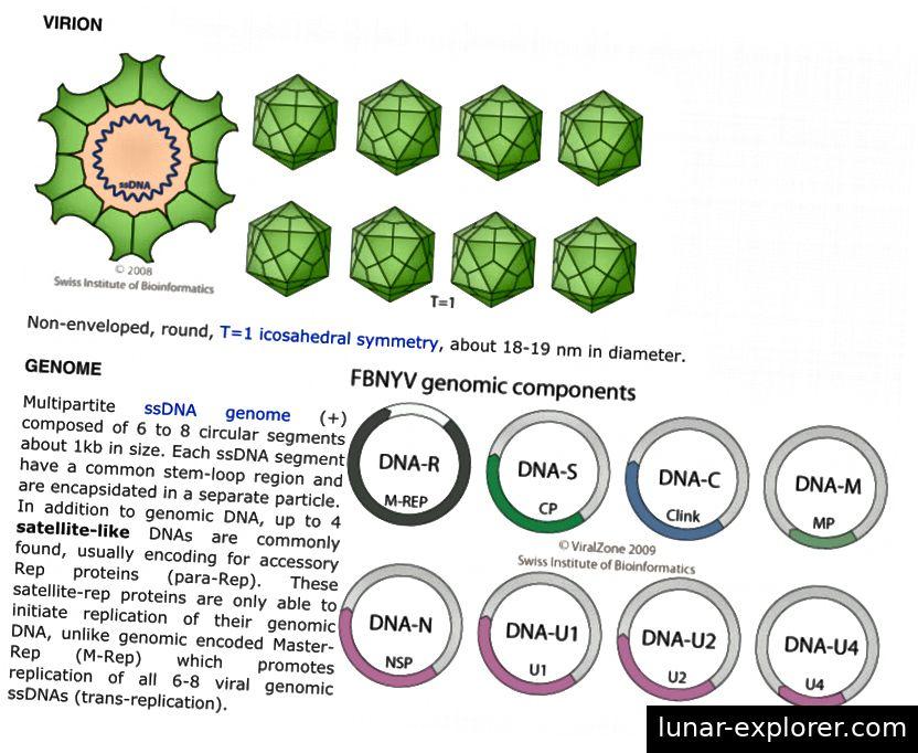 FBNSV ist ein Nanovirus. (Quelle: ViralZone)