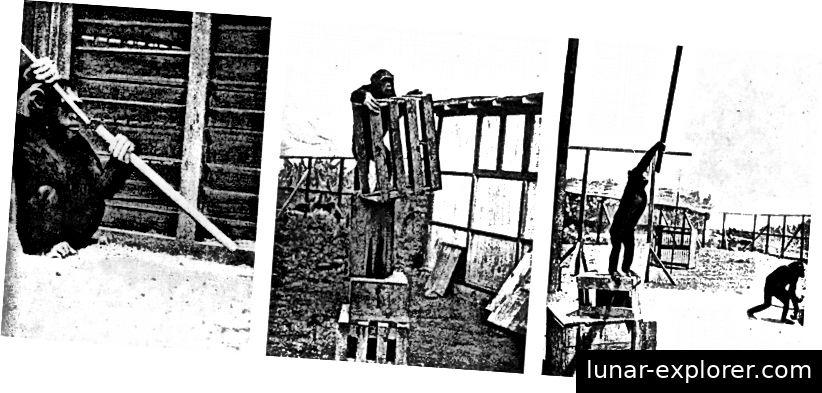 Sultan, einer der hellsten der frühen Schimpansen für psychologische Forschung, wurde vom Gestaltpsychologen Wolfgang Köhler getestet. Sultan ist insbesondere für seine Einsicht in die Lösung zahlreicher Probleme bekannt, darunter das Stapeln oder Manipulieren von Boxen, um eine Belohnung zu erzielen, und die Verwendung von zwei Stöcken als Einheit, um Lebensmittel in eine erreichbare Entfernung zu bringen.