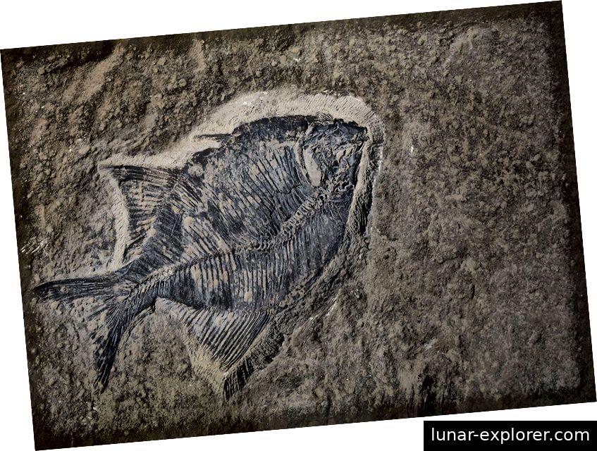 Fossiler Fischblock beim Ausheben eines Kellers im Evanston-Gebiet von Calgary gefunden. Dieses seltene Stück enthält fünf Fische von zwei neu entdeckten Arten. Mit freundlicher Genehmigung des Royal Tyrrell Museum, Drumheller, AB.