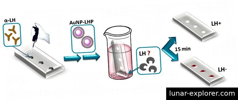 Der Prozess, um ein Schafblut auf Luteinisierungshormon zu testen