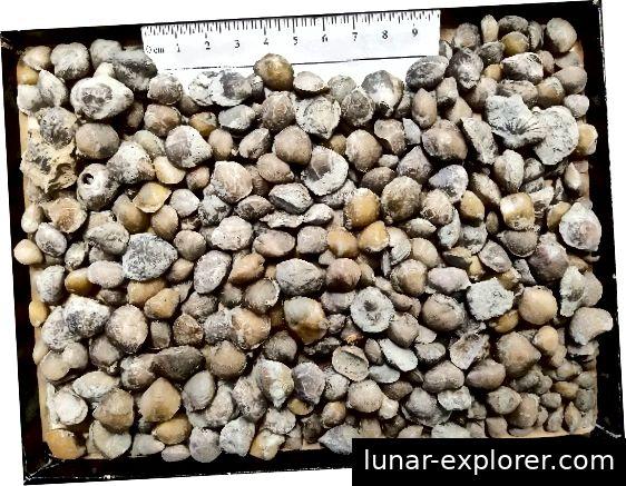 Die reichlich vorhandenen Brachiopoden von der Stätte. Foto mit freundlicher Genehmigung von Reed Scherer, Northern Illinois University