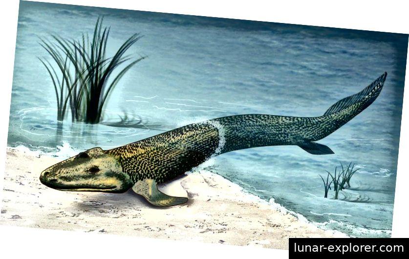 Eine lebensechte Restaurierung eines Übergangsfossils namens Tiktaalik roseae, das eine sogenannte fehlende Verbindung zwischen Fischen und Tetrapoden darstellt und auf die späte devonische Zeit in Nordamerika zurückgeht. (ZINA DERETSKY, NATIONAL SCIENCE FOUNDATION)