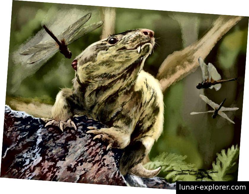 Bonacynodon, einer der kürzlich entdeckten Zynodonten aus der späten Trias, war ein kleines Tier mit vielen säugetierähnlichen anatomischen Merkmalen. Es war fleischfressend, etwa 10 cm (4 Zoll) lang und dürfte eng mit dem Vorfahren aller heute noch vorhandenen Säugetiere verwandt sein. (JORGE BLANCO, MARTINELLI AG, SCHWANKE C)